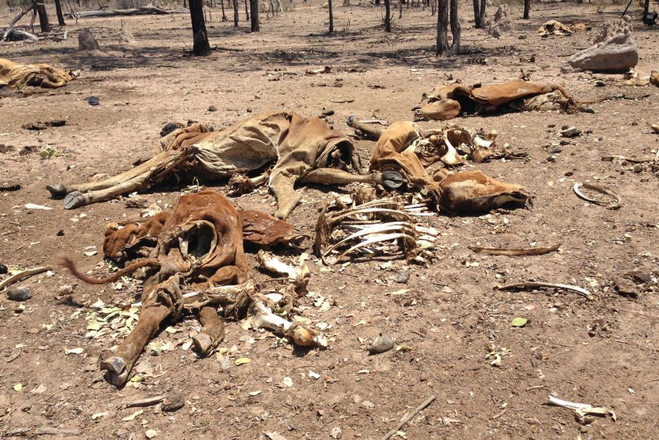 Dead_Cattle_drought.jpg