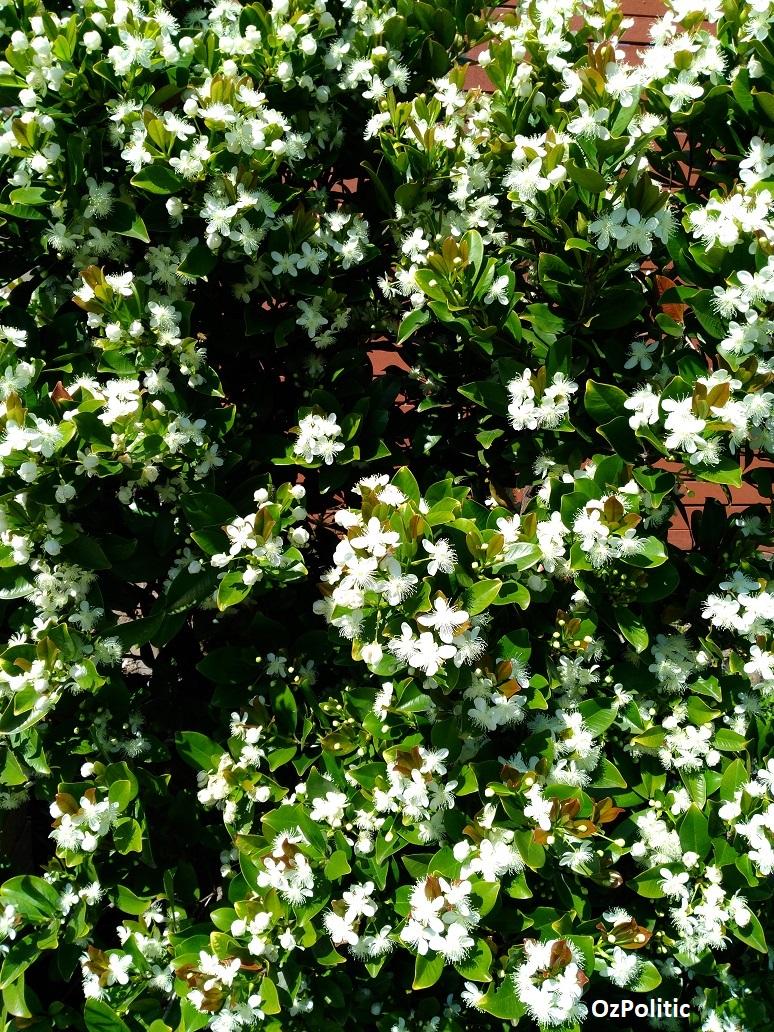 Grumichama flowers
